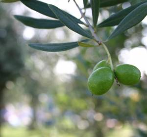 The olive grove boom